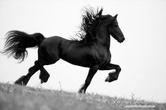 Friesian Steps Out Fine Art Horse Photograph by WildHoofbeats