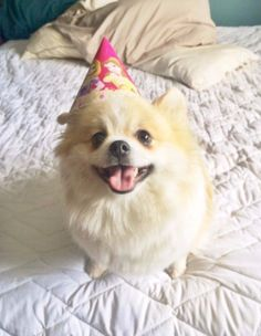 Not the party hat, Beans! Anything but the party hat! It's just TOO CUTE. | 15 Pets Who Are So Cute It's Actually Scary