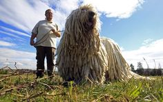 This is a Komondor, a Hungarian guard dog. Freakin' mop dog! Wow.
