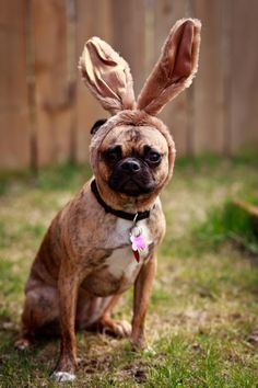 What haven't you seen a dog in bunny ears before? Adorable Cute Animals, Cute Bunny, Hoppy Easter, Pug Life, Pretty And Cute, Girls Best Friend, Puppy Love, Pugs, Cute Pictures