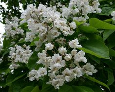 Cluster of catalpa blossoms. Catawba Worms, Foundation Planting, Shade Trees, White Gardens, Fishing Bait, Bright Green, Green Leaves, Habitats, Seeds