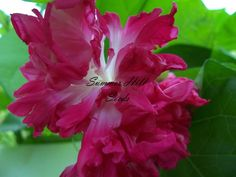 Morning Glory 'Akahigezaki Hige' (Ipomoea purpurea)