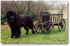 They have been trained to ignore any intriguing distractions while harnessed and working. Their handlers learn how to verbally direct their dogs around and . Newfoundland Canada, Giant Dogs, Gentle Giant, Dogs And Puppies, God, Animals, Dogs, Dios, Animales