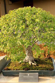 欅 Keyaki (Japanese Zelkova) - 盆栽美術館 - bonsai museum   Flickr - Photo Sharing!