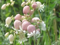 Bladder Campion [bladder campion] - : Wild Thyme Plants, Frome-based nursery that specialises in fragrant & wild plants in South West UK. Fast Growing Vegetables, Asian Vegetables, Thyme Plant, Seed Packaging, Organic Seeds, Plant Species, Flower Pictures, Dream Garden, Nature