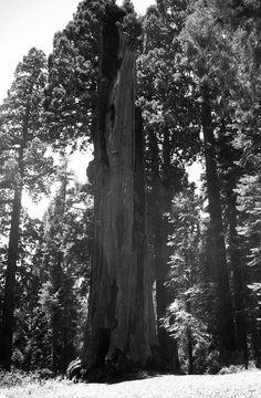 The Hercules Tree, Tulare County, California. DSMc.2012