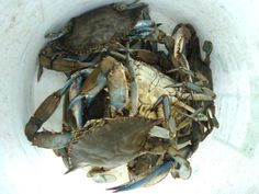 Blue crabs in bucket - familiar sight at the Christchurch School waterfront!    https://www.christchurchschool.org/podium/default.aspx?t=131098