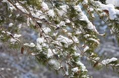 What's Wrong with that Tree?: Salvaging your trees and shrubs after heavy snow o...