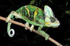 Image detail for -Veiled chameleon. Veiled Chameleon, Chameleons, Detail, Animals, Image, Animales, Animaux, Chameleon, Animal