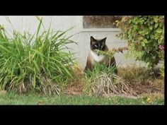 Klepto Kitty the Cat Burglar [Too funny - I had a cat that stole stuff too when it was younger, but nothing to this extent! lol]
