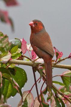 Neochmia phaeton - Crimson Finch   Flickr - Photo Sharing!