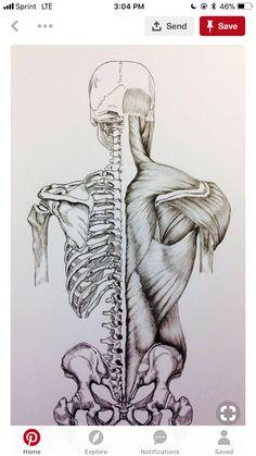 Panturrilha Human Body Muscles, Human Body Anatomy, Back Muscles, Human Body Bones, Human Skeleton Anatomy, Human Anatomy Drawing, Human Body Art, Pelvis Anatomy, Anatomy Back
