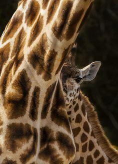 Baby Giraffe (by Adam BStar) Animals Of The World, Animals And Pets, Baby Animals, Cute Animals, Beautiful Creatures, Animals Beautiful, Power Animal, Cute Animal Pictures, Animal Pics