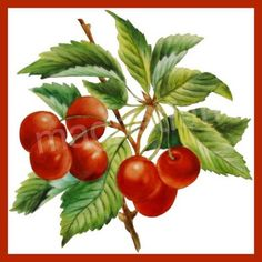 Giant size refrigerator magnet pictures a branch of red cherries. Cherry Creek, Cherry Kitchen, Cherry Fruit, Refrigerator Magnets, Drawing, Command Centers, Cherries, Palace, Artwork