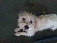 SCHNAUZER is an adoptable Schnauzer Dog in San Antonio, TX.  ...