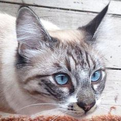 Meet MERLIN, an adoptable Siamese looking for a forever home. If you're looking for a new pet to adopt or want information on how to get involved with adoptable pets, Petfinder.com is a great resource.