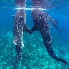 Whale Sharks Ningaloo. They love each other :) @Nicki Clark Clark Young this IS us.