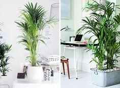 plantas de interior. Kentia palmera