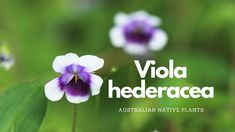 Viola hederacea | Australian Native Plant Profile | Pollinator Attractin... Native Plants, Nativity, Profile, Garden, User Profile, Christmas Nativity, Garten, The Nativity, Gardens