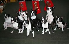 have a large boston terrier family <3