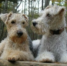 terriers.Double forest trouble !