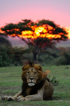 Sunrise Lion by Eliot Chen - Por do sol na Africa Nature Animals, Animals And Pets, Cute Animals, Wild Animals, Baby Animals, Beautiful Cats, Animals Beautiful, Beautiful Sunset, Aigle Animal