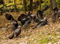 Gaggle of Wild Turkeys, Lexington, Massachusetts