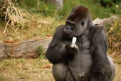 Adult male gorillas call more during feeding than females, juveniles.  Flowers, seeds, aquatic vegetation elicit most 'humming' and 'singing' vocalizations.  Just like my husband