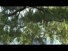 Pines and Pruning - YouTube