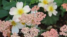 rosa 'The Alexandra rose' et achillea 'Apricot Delight'