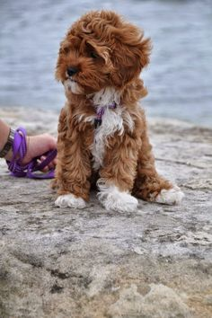Cavalier King Charles Spaniel  Poodle  Cavapoo So cute