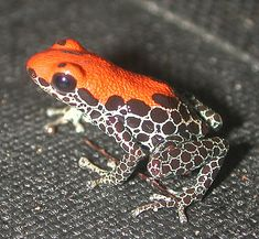 The Red-backed Poison Frog (Ranitomeya reticulata) is an arboreal insectivorous species, and is the second-most poisonous species in the genus, after R. variabilis. Like many species of small, poisonous frogs native to South America, it is grouped with the poison dart frogs, and is a moderately toxic species, containing poison capable of causing serious injury to humans, and death in animals such as chickens. R. reticulata is native to the Amazon rainforest in Peru and Ecuador