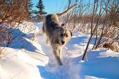 by philNm Irish Wolfhound