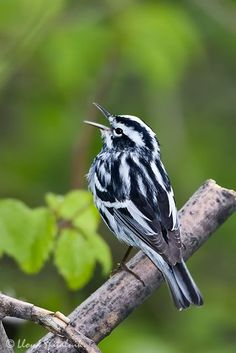 Black and White Warbler                                                                                                                                                     More