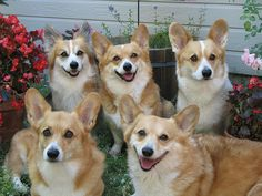Corgi Family Portrait, via Flickr. OMG PACK OF CORGIS!