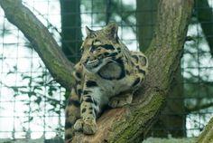 Nevelpanter - Clouded leopard