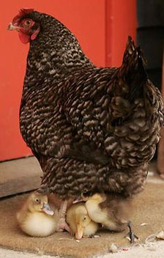 Marans hen adopts ducklings. (Marans lay beautiful chocolate coloured eggs that are naturally resistant to Salmonella)