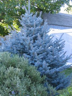 STAY AWAY from Colorado Blue Spruce.  They do not do well in this climate although they are sold here.