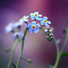 ~~Never give up ~ forget me not flower by Joakim Kræmer~~