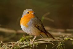 the european robin (erithacus rubecula), is a small insectivorous bird. it is found across europe, east to western serbia and south to north africa. photo from emuwren