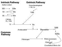 Intrinsic and Extrinsic Clotting Cascade