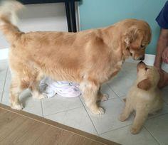 Golden Retriever dog and puppy meet first time