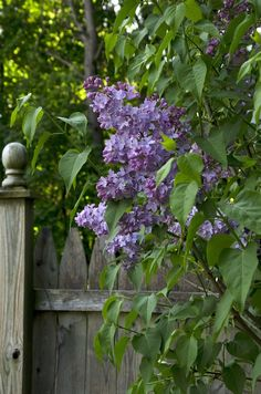 Lilacs by the gate