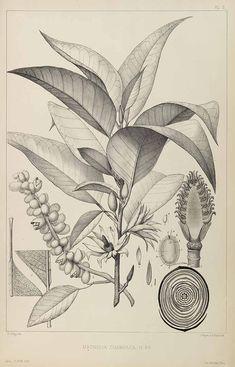 Magnolia champaca (L.) Baillon ex Pierre Champaca Pierre, L., Flore forestiere de la Cochinchine, vol. 1: t. 3 (1880-1883) [E. Delpy]