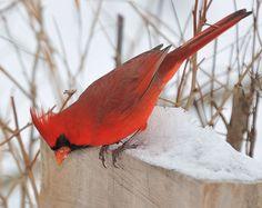 I see you...Cardinal