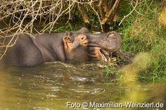 Maximilian Weinzierl – Fotografie – Blog: BBC earth: mein Monster im Teich