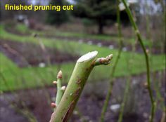 GENERAL PRUNING GUIDE ROSES , GREAT PICTURES Finished Rose Pruning Cut