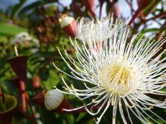 corymbia-ficifolia_flowering-gum_summer-snow