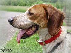 GREEZIE is an adult male American English Coonhound in need of rescue or adoption from the Pocahontas County Animal Shelter in Marlinton, WV.  More PHOTOS here: https://www.facebook.com/media/set/?set=a.381112518665247.1073741844.257761584333675=3=2  For rescue or adoption info, email: asapwva@gmail.com