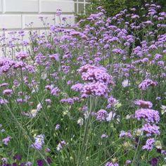 Verbena, Kæmpe- Verbena bonariensis.  Sået 8.2 - placeret ude, i drivhus. Taget ind ? - vindueskarm. Spiret - ? Yndefuld plante med lette, lilla blomsterskærme, der svajer elegant i toppen af op til 1½ meter høje stængler.  Sås inde februar/marts, stil potten udendørs udenfor en uges tid og tag den ind igen. udplantes i maj. Frøene skal næsten ikke dækkes med jord. Flittig selvsåning.